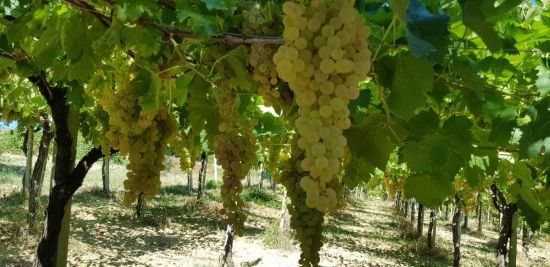 Vinum Hadrianum: итальянское вино «с характером»